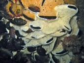 Mussels fouled by didemnid ascidians