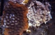 celleporaria spp