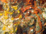Watersipora subtorquata