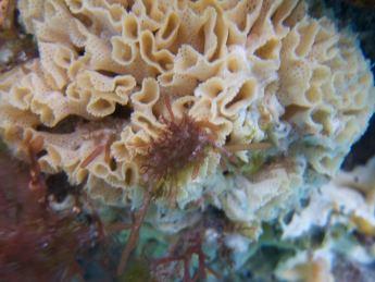 Reteporid bryozoan, Flinders