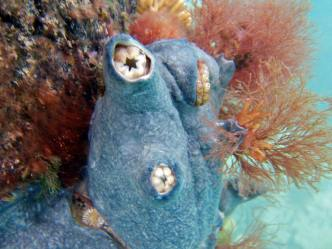 Colonial ascidian covering solitary species, Flinders