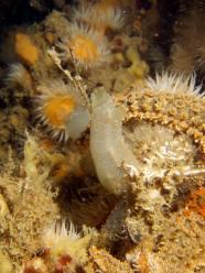 Ciona, a non-native ascidian