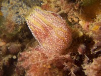 Botrylloides anceps, a native compound ascidian