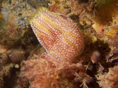Botrylloides anceps, a native compound ascidian