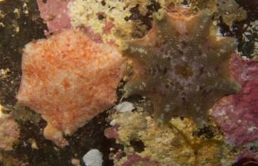 Sea stars under boulder, Mushroom Reef