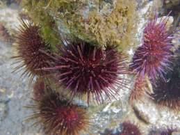 Urchins, Heliocidaris, @ Jawbone
