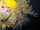 The non-native bryozoan Bugula neritina