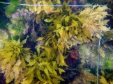 The kelp Ecklonia radiata