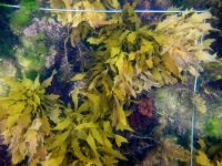 The kelp Ecklonia radiata