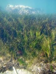 Seagrass, Zostera nigricaulis