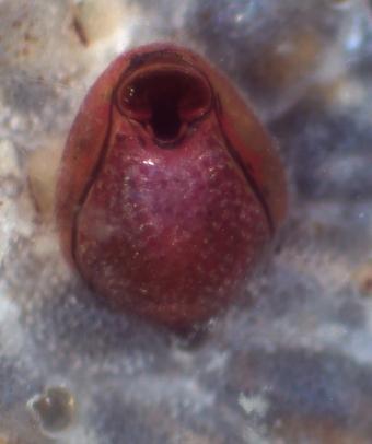 Newly metamorphosed bryozoan, Watersipora subtorquata