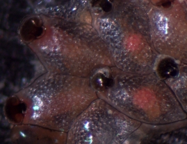 Bryozoan, Watersipora subtorquata, with brooded embryos (pink patches)