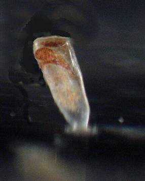 Newly metamorphosed Bugula neritina