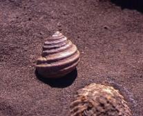 Austrocochlea, a common intertidal herbivore