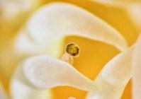 Bugula neritina larva trapped by anemone